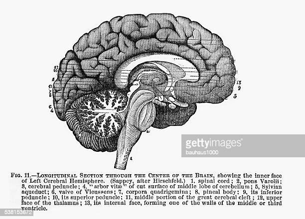 section through the center of the brain engraved illustration, 1880 - heart ventricle stock illustrations