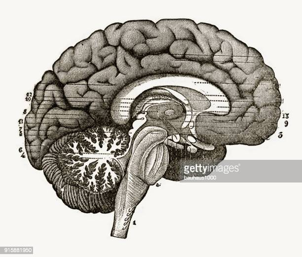 section through the center of the brain engraved illustration, 1880 - neuroscience stock illustrations