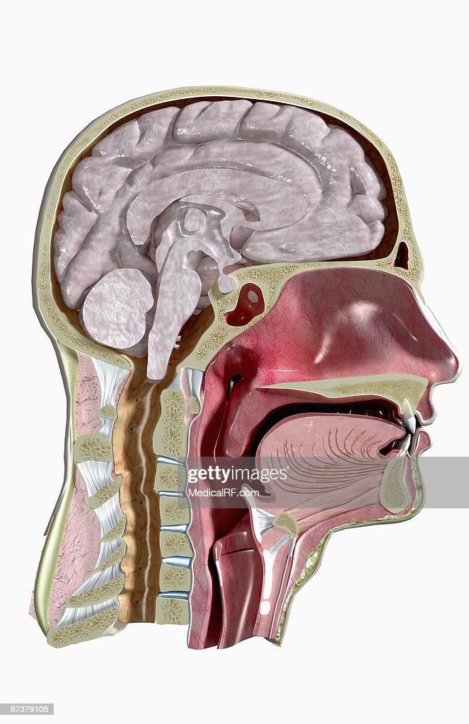Sectional Anatomy Of Head And Neck Stock Illustration Getty Images