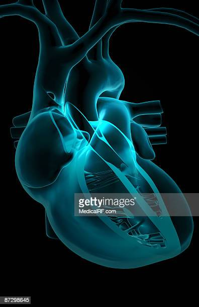 sectional anatomy of the heart - papillary muscle stock illustrations