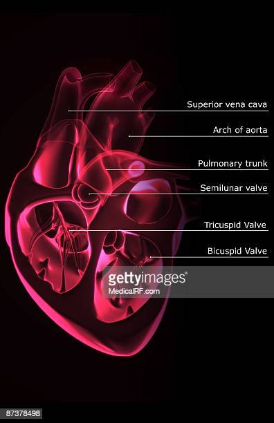 Atrium Heart Stock Photos and Pictures | Getty Images