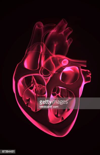 sectional anatomy of the heart. - papillary muscle stock illustrations