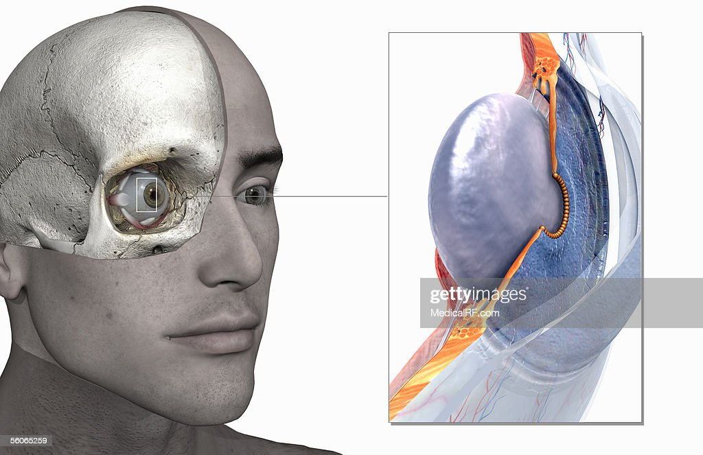 Sectioned view of the eye zoomed out of a male head. : stock illustration
