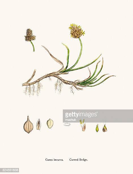 ilustrações, clipart, desenhos animados e ícones de cyperaceae grama científico ilustração - biologia