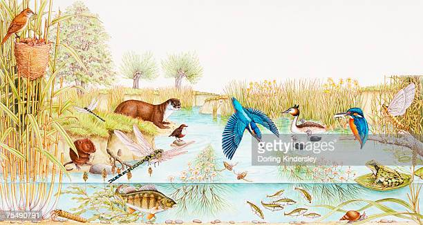 selection of british wildlife in and around pond - mammal stock illustrations