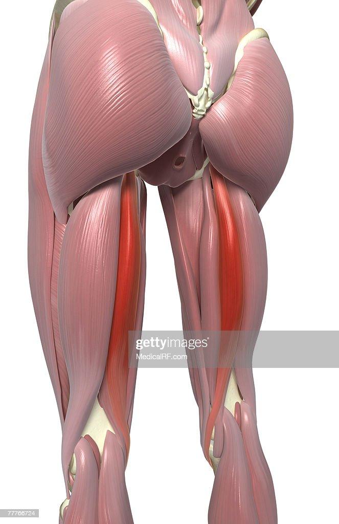 Semitendinosus Muscle Stock Illustration | Getty Images