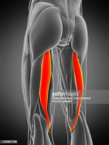semitendinosus muscle, illustration - human muscle stock illustrations