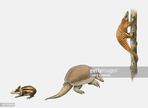 Sequence of illustrations of Lowland Streaked Tenrec (Hemicentetes semispinosus), Giant Armadillo (Priodontes maximus), and Tree Pangolin (Manis tricuspis)