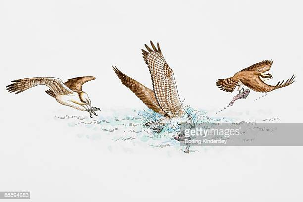 ilustraciones, imágenes clip art, dibujos animados e iconos de stock de sequence of illustrations of osprey (pandion haliaetus) plunging feet first into water, catching fish and flying away, gripping it by reversible front toes and sharp spicules - animalmuerto