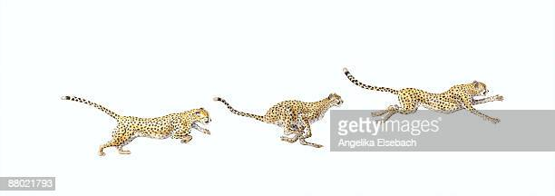 Sequence of illustrations showing how the Cheetah (Acinonyx jubatus) runs at high speed