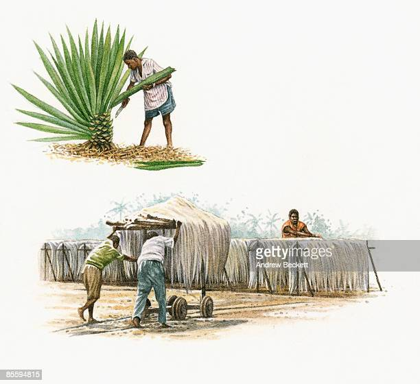Sequence of illustrations showing man harvesting green leaves from Agave sisalana (Sisal Plant), two mean pushing cart, and man drying Sisal fibre