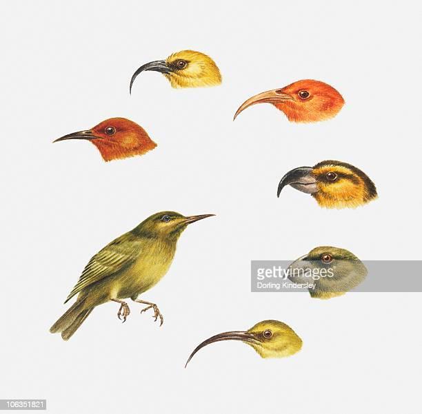 Series of illustrations of Akaipolaau, Liwi, Maui parrotbill, Apapane, Kona, Honeycreeper, Kauai akialoa showing types of beak