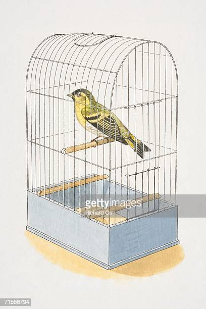 serinus canaria, caged canary on a perch. - studio shot stock illustrations, clip art, cartoons, & icons