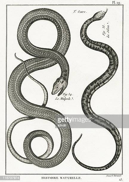 serpent, plate 19 - snake stock illustrations