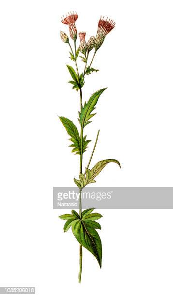 serratula tinctoria, commonly known as dyer's plumeless saw-wort or saw-wort - sandwort stock illustrations, clip art, cartoons, & icons