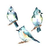 set big blue tit birds wild