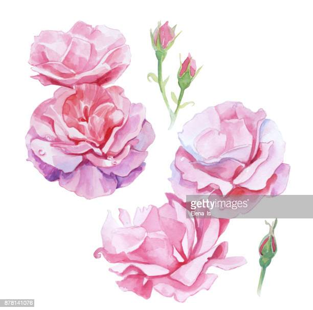 set of isolated watercolor roses. botanical illustration. - rose petals stock illustrations, clip art, cartoons, & icons