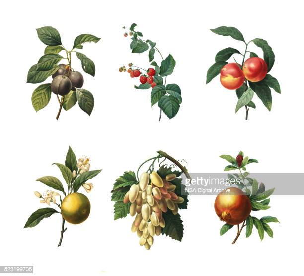 Ensemble de divers fruits et plantes Antique Illustration