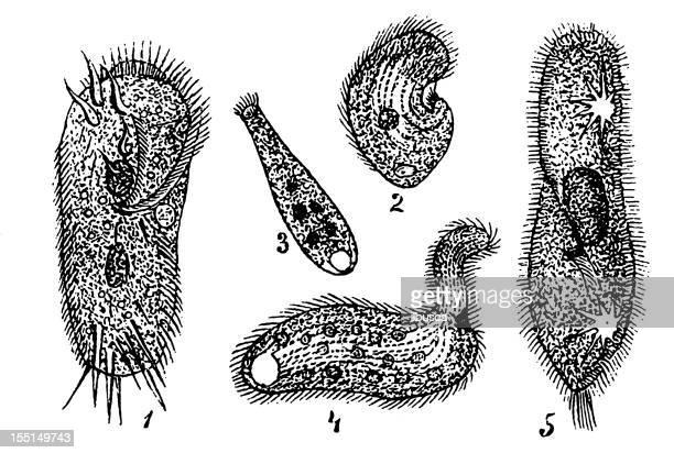 Several Protozoa