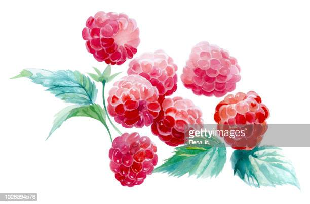 several raspberries on a white background. watercolor painting - raspberry stock illustrations