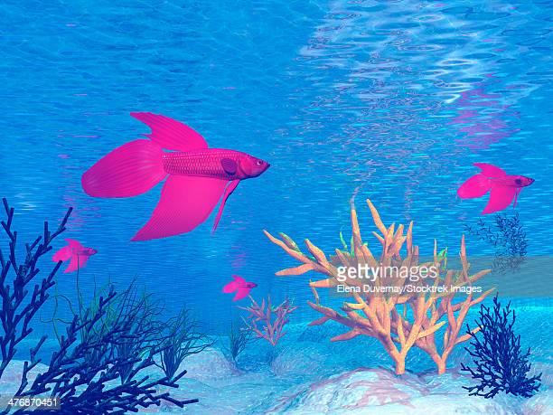 Several red betta fish swimming underwater.
