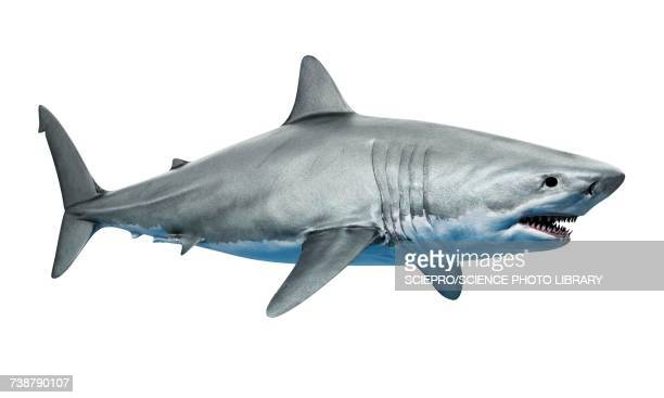 ilustraciones, imágenes clip art, dibujos animados e iconos de stock de shark against white background, illustration - fondo blanco