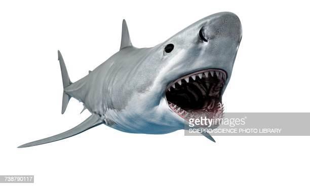 Shark against white background, illustration
