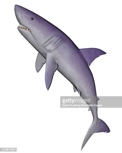 ilustrações, clipart, desenhos animados e ícones de shark illustration, white background. - organismo aquático