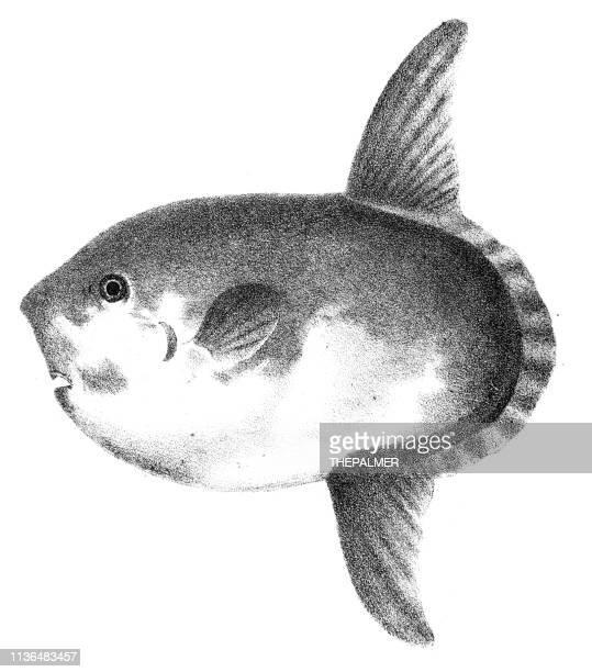 ilustraciones, imágenes clip art, dibujos animados e iconos de stock de sharptail mola pez grabado 1842 - mola