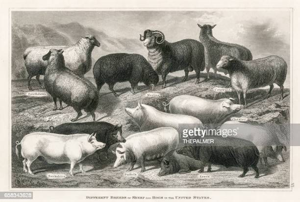 Sheep and hogs engraving 1873