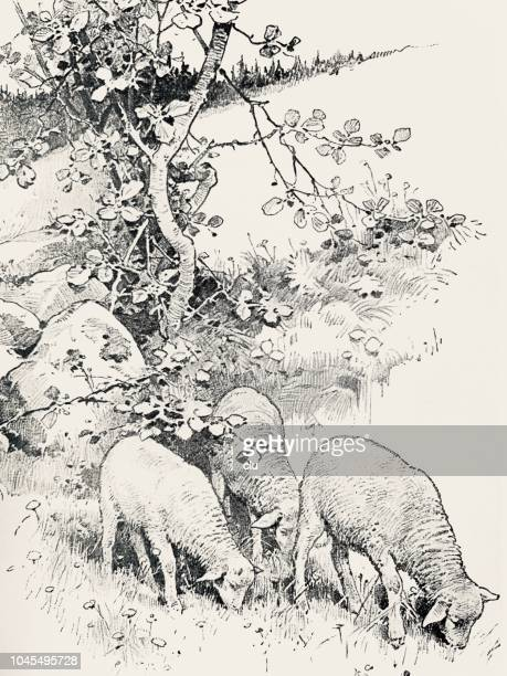 Sheep on the meadow, grazing