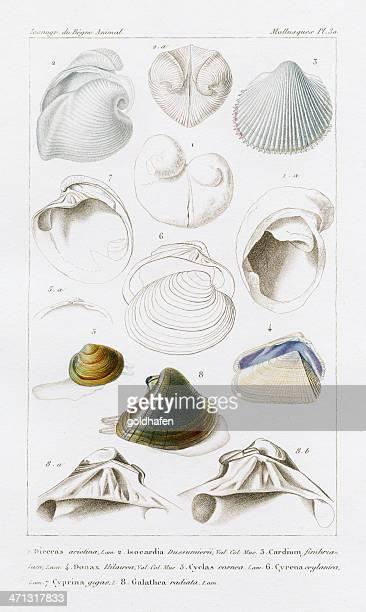 shells, antique scientific print, 1829