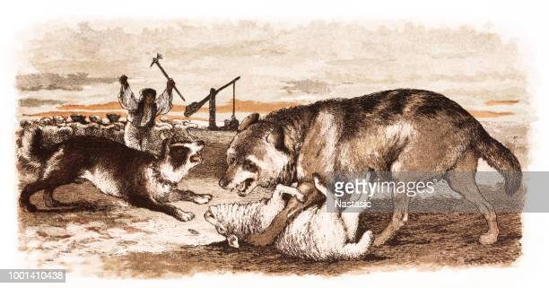 shepherd and his dog protecting sheep attacked by wolf - sheep stock illustrations, clip art, cartoons, & icons