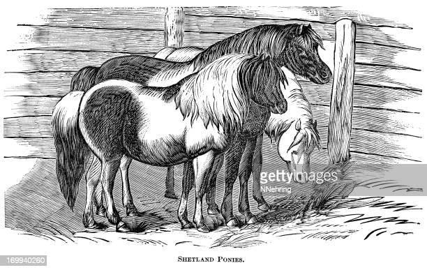 shetland ponies - horse family stock illustrations, clip art, cartoons, & icons