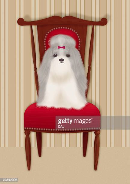 Shih Tzu sitting on a chair, front view
