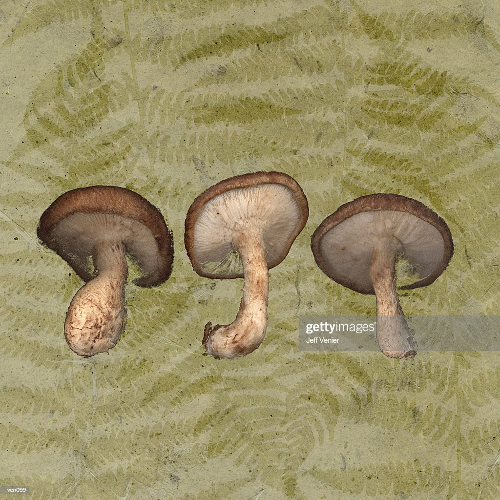 Shiitake Mushrooms on Fern Background : Stock Illustration