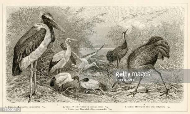 illustrations, cliparts, dessins animés et icônes de 1896 oiseaux de rivage gravure - marabout