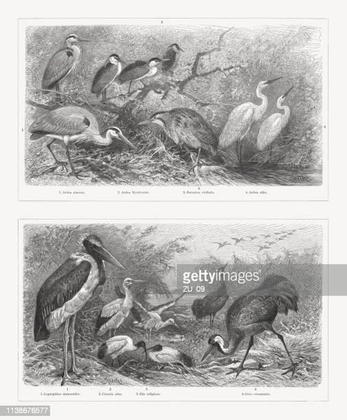 illustrations, cliparts, dessins animés et icônes de oiseaux de rivage (charadriiformes), gravures sur bois, publiées en 1897 - marabout