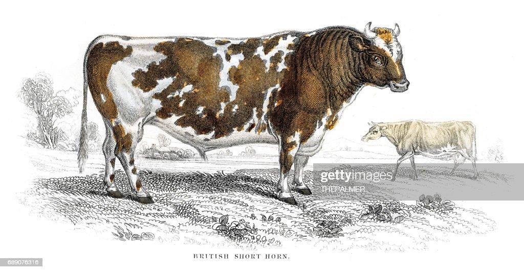 Short horn lithograph 1884 : Stock Illustration
