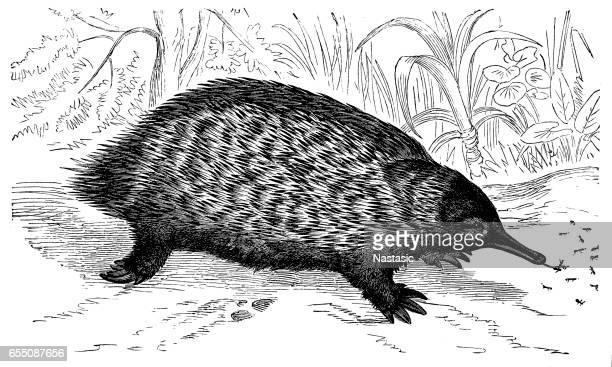 short-beaked echidna (tachyglossus aculeatus) - anteater stock illustrations