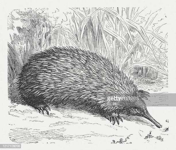 short-beaked echidna (tachyglossus aculeatus), wood engraving, published in 1893 - echidna stock illustrations