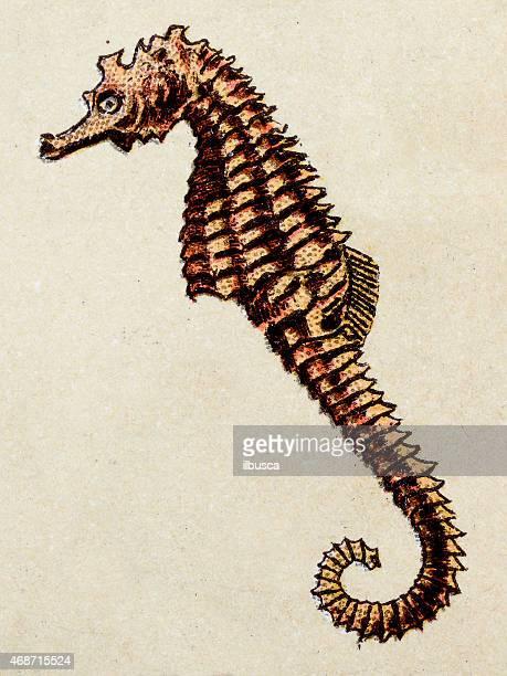 Cavalo-Marinho snouted curto, peixe animais ilustração antigo