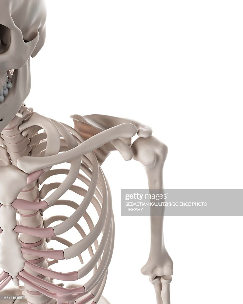 Shoulder Bones Stock Illustration Getty Images