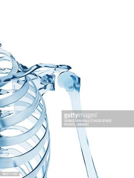 shoulder joint, illustration - human bone stock illustrations