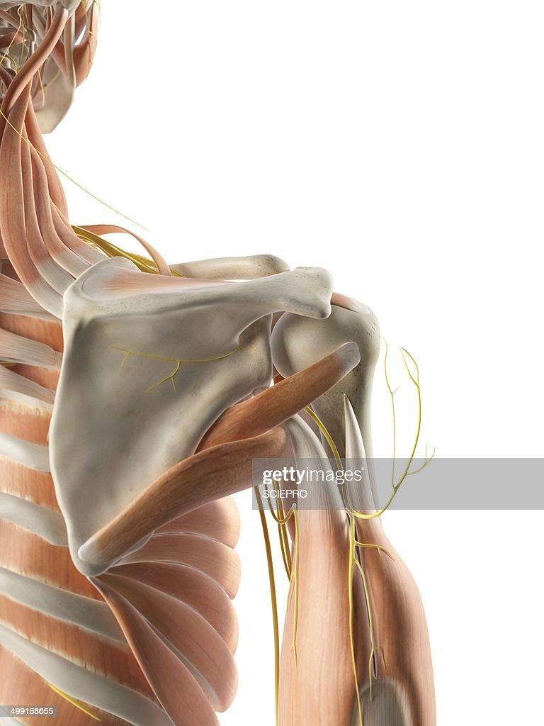 Shoulder Muscles And Nerves Artwork Stock Illustration | Getty Images
