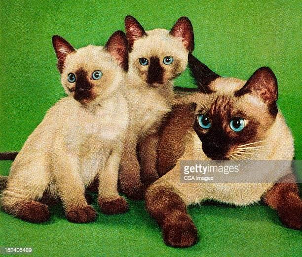 Illustrazioni E Cartoni Animati Stock Di Gatto Siamese Getty Images