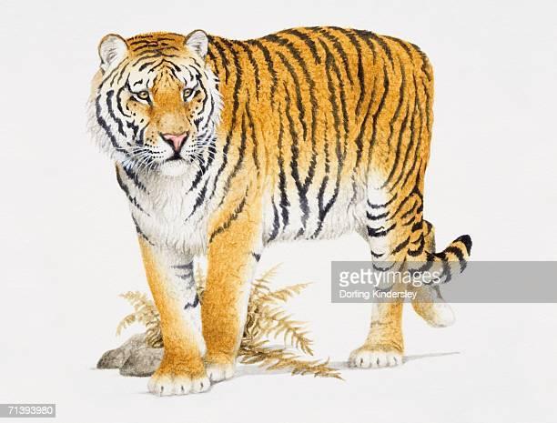 ilustraciones, imágenes clip art, dibujos animados e iconos de stock de siberian tiger, panthera tigris altaica, front view. - tigre