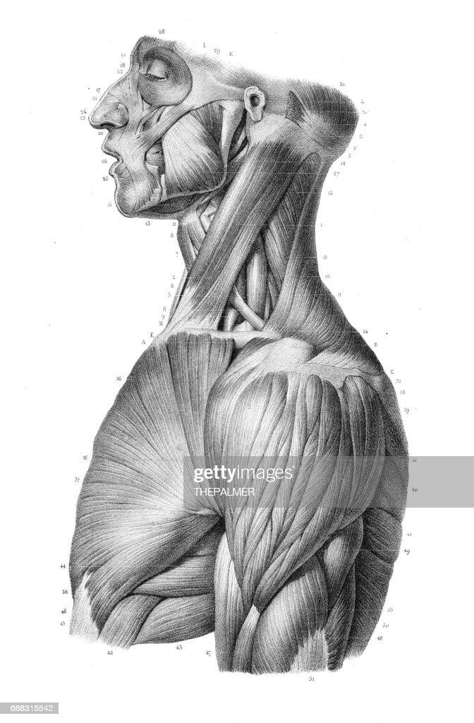 Grabado de anatomía del tronco lateral 1866 : Ilustración de stock