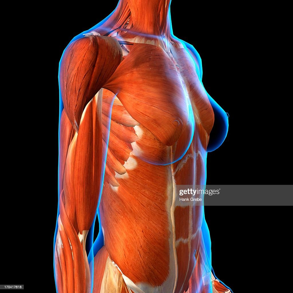 Side View Of Female Chest And Abdominal Muscles Anatomy In Blue Xray ...