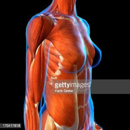 Side View Of Female Chest And Abdominal Muscles Anatomy In Blue Xray
